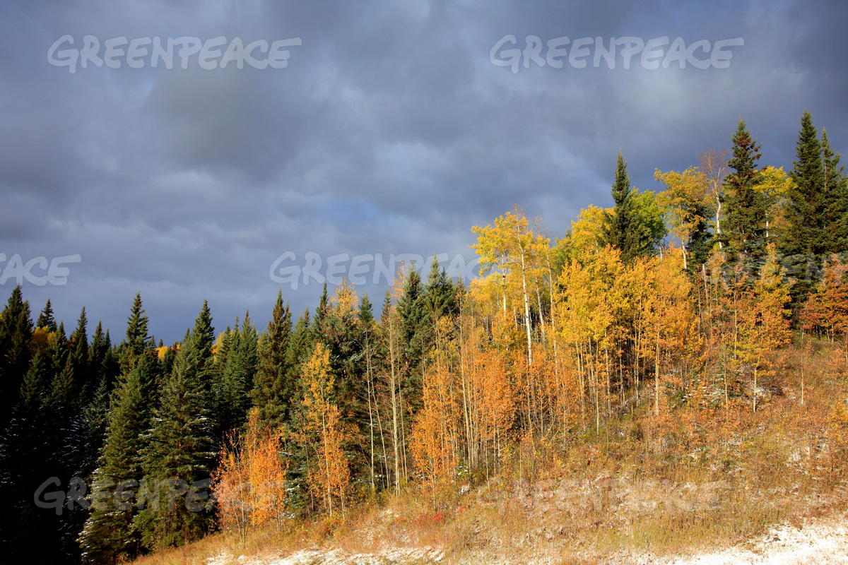 Boreal Forest in Alberta