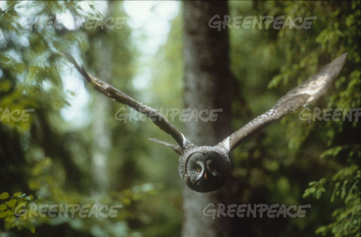 Great Gray Owl in Finland