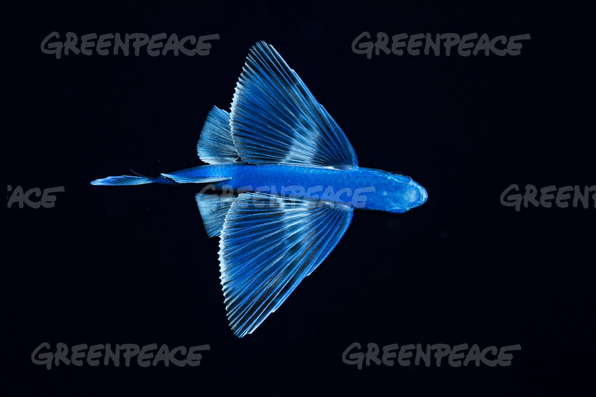 Flying Fish in the Sargasso Sea