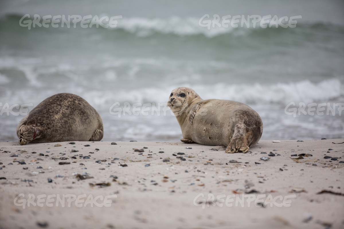 Seals on the Islet Duene of Heligoland