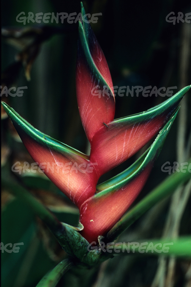 Flower in rain forest of Uganda