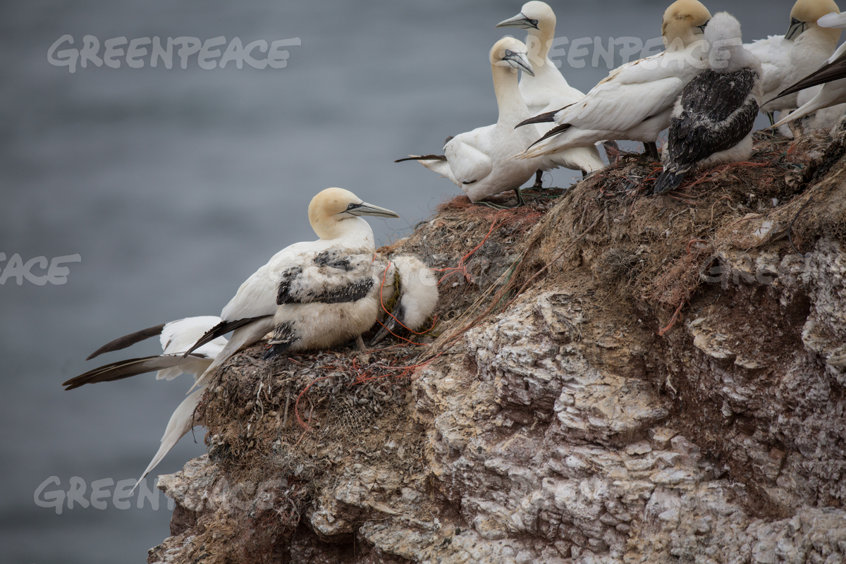 Gannets with Plastic Waste on Heligoland