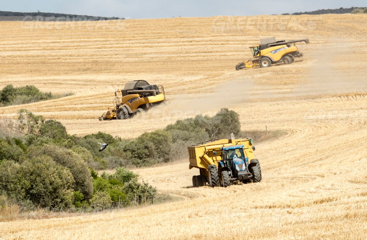 Wheat Harvest in South Africa