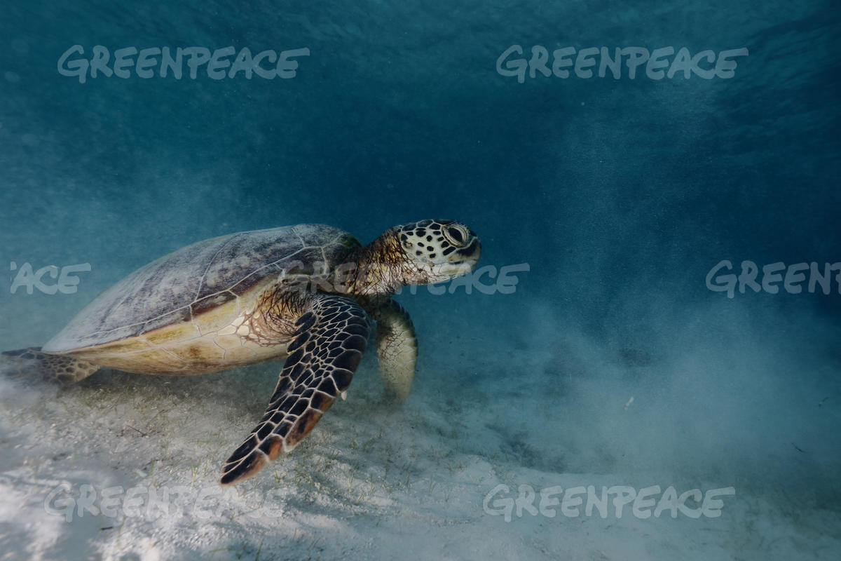 Green Sea Turtle at Raja Ampat, Papua, Indonesia