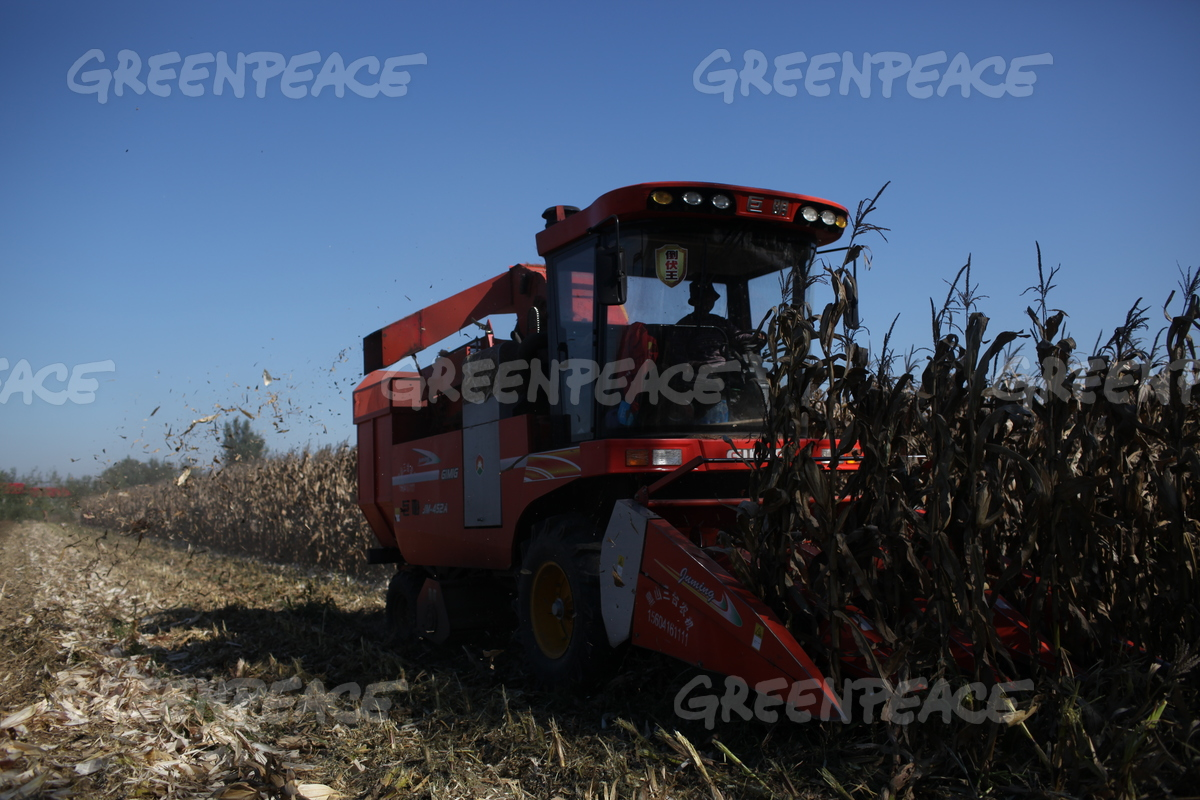 Illegal GE Corn Cultivation Investigation in Northeast China