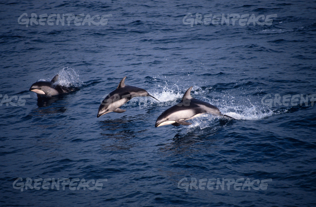 Pacific white-sided dolphins, North Pacific.