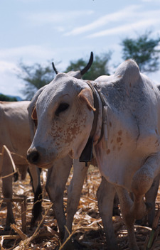 "Masaii cattle with tsetse repellant ""necklaces"". ICIPE station Mbita Point, Suba District, Kenya."