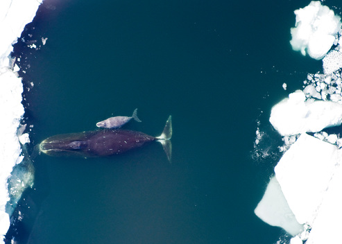 Bowhead Whale and Calf in Arctic