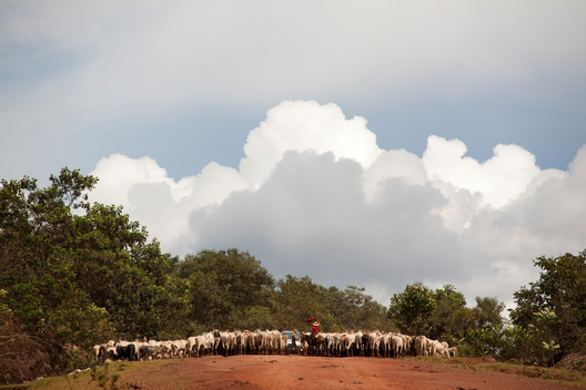 Cattle Ranching on BR-163 Road in Brazil