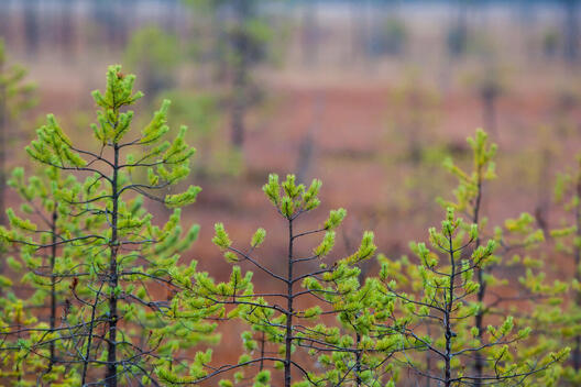 Young Pine Trees in Vodlozero National Park in Russia