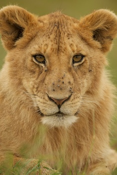 Lion in the Savanna in Tanzania