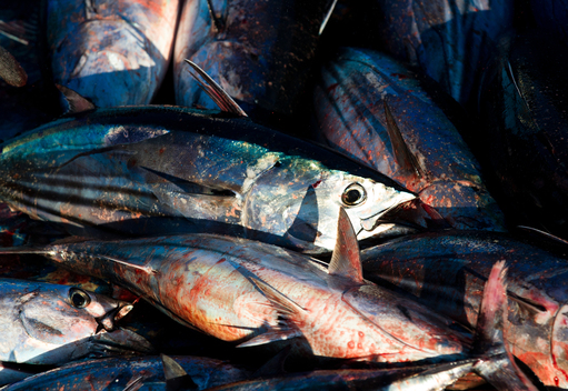 Skipjack Tuna in Indonesia