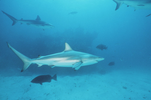 Blacktip Shark in Atlantic Ocean