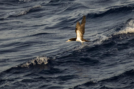 Brown Booby in the Caribbean Sea