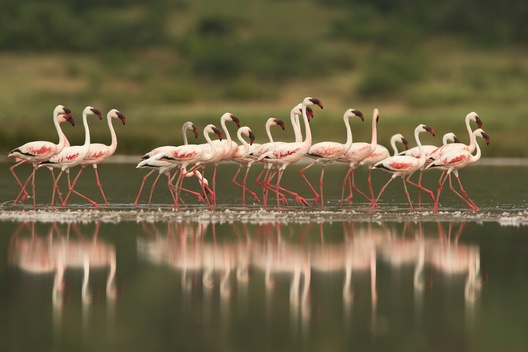 Flamingos in the Savanna in Tanzania