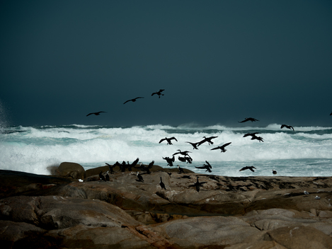 Cormorants Taking Flight at Smooth Pool Streaky Bay, Australia