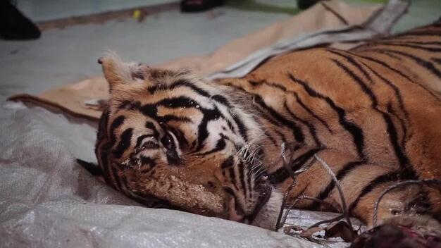 Dead Sumatran Tiger in Riau - B-roll