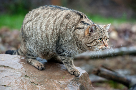 Wild Cat in a Reserve in Germany