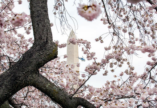 Cherry Blossoms - Week One of Virus Shut Down in Washington DC