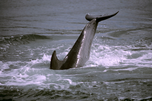Dingle Bay dolphin, Eire