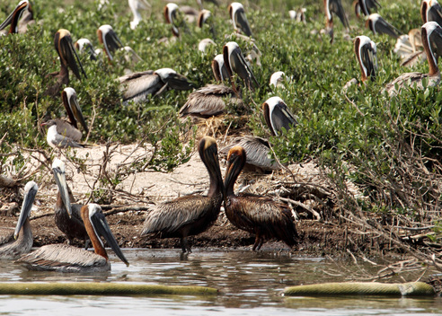 Brown Pelicans in Louisiana