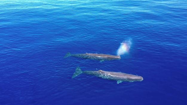Sperm Whales in the Sargasso Sea - Clipreel