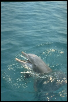 Bottlenose Dolphins in the Gulf of Mexico