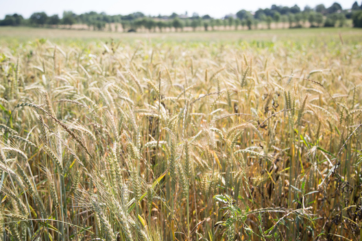 Wheat in Ecological Farm in France