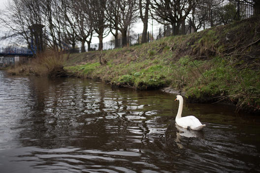 Swan on River Clyde in Scotland, UK