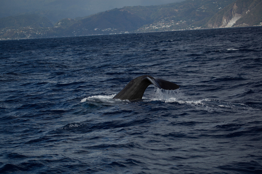 Sperm Whales off Dominica