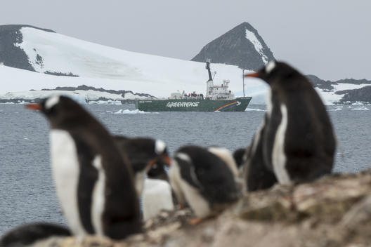Gentoo penguins and the Arctic Sunrise in the Antarctic