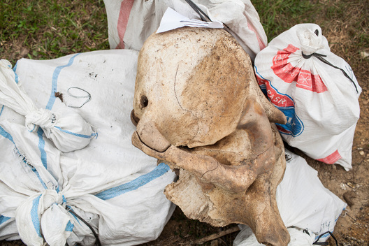 Elephant Skeletons Found in Tesso Nilo National Park