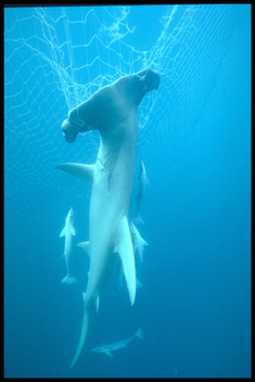 Hammerhead Shark in Driftnet in the Arafura Sea