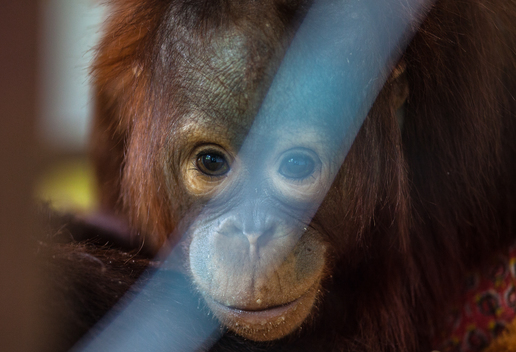 Orangutan at IAR in West Kalimantan