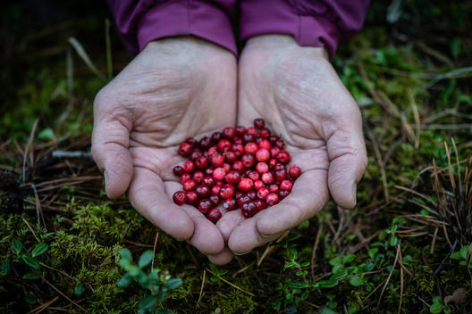 Chef Michele Genest Cranberry Harvesting in Canada