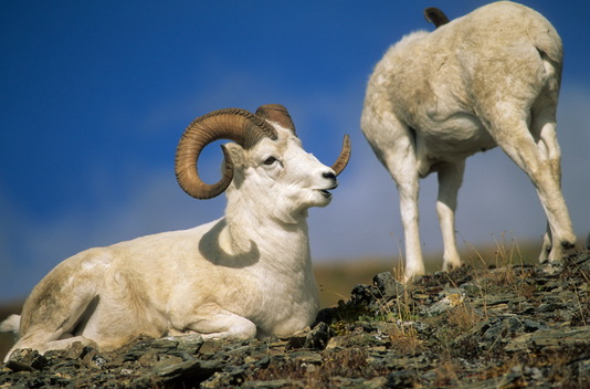 Dall Sheep in Alaska