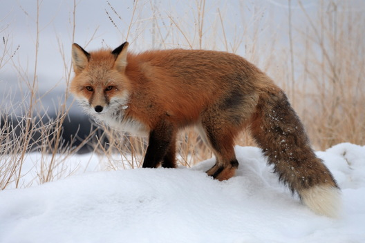 Red Fox in Alaska