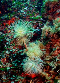 Tube Worms - Mediterranean 2006