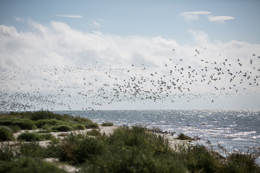 Flying Birds on Nigehoern in the Wadden Sea