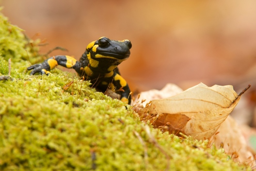 Fire Salamander in Germany