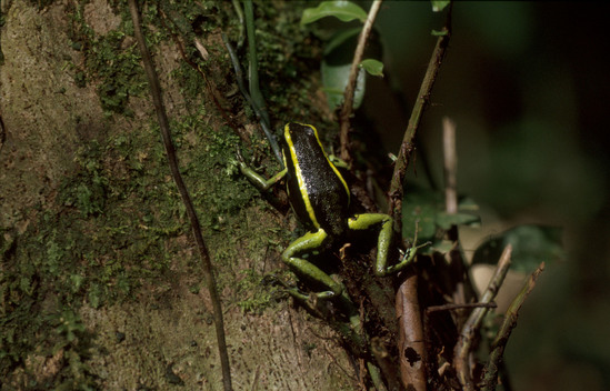 Tree frog  in forest of Peru
