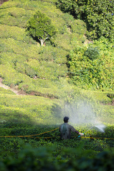 Pesticide Spraying in Tea Estate in Kerala
