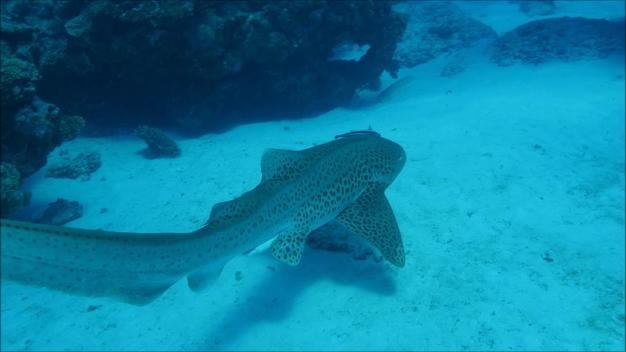 Leopard Shark in the Great Barrier Reef