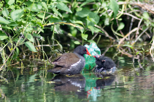 Moorhen in the River Little Ouse in UK