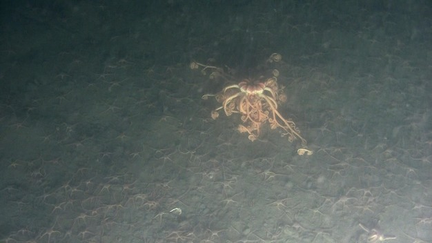 Basket Star in the Chukchi Sea