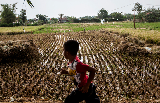 River Pollutes Rice Paddy Area in West Java