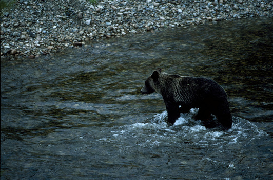 Swimming Grizzly bear. British Columbia, Canada.