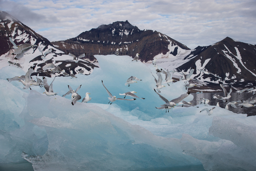 Kittiwakes and Ice in Svalbard