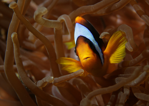 Red Sea Anemonefish in Egypt