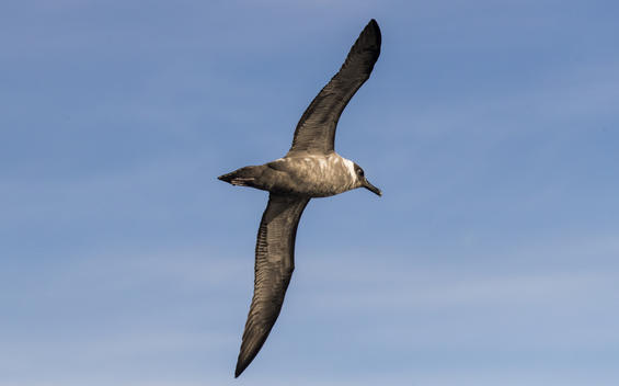 Light Mantled Sooty Albatross in the Antarctic